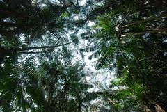 Green canopy (Mel@photo break) Tags: plant tree green garden singapore mel botanic canopy  d80 chanmelmel melindachan