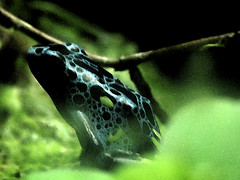 Tree Frog 1 (Ancientmule) Tags: blue black tree frog
