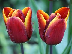 Twins (Mukumbura) Tags: tulips flower