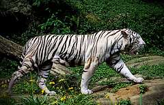 Tigre Branco ! (kass) Tags: city brazil urban art animal zoo photo photographer arte saopaulo sopaulo tiger capital gato felino zoolgico urbano brasileiro tigre gatinho urbanscenes paulista brsil ensaiofotogrfico urbanscenery predador rasil cenaurbana paulistano paulicia tigrebranco jornadafotogrfica sadafotogrfica streetphotografy cityofsaopaulo kass dfpro2320896
