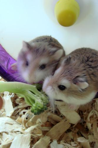 mochi & pudding eating broccoli