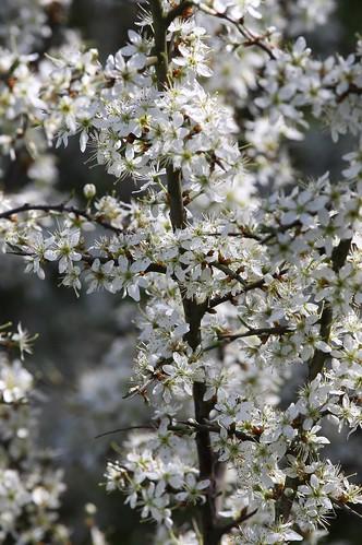 Hedge Blossom