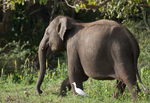 Wild elephant at Wasgamuwa