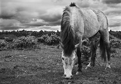 Pony About to Get Wet, New Forest