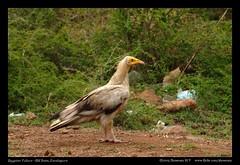 Egyptian Vulture (M V Shreeram) Tags: india nature birds bangalore raptor endangered karnataka avifauna neophronpercnopterus egyptianvulture kanakpura bmbetta banthimaaribetta