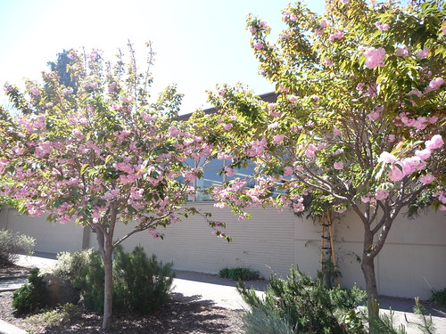 kwanzan cherry tree leaves. Hayward Library Plaza Tree