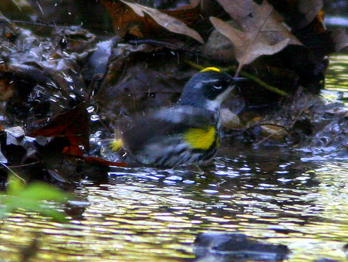 Yellow-rumped Warbler Bathing 20090502