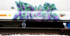 Dove on Stage (w/ matching background) ;-) (mightyquinninwky) Tags: railroad bird geotagged graffiti dof bokeh pigeon dove tag award indiana rail railway tags tagged depthoffield southernindiana ave urbanwildlife rails spike graff graphiti industrialpark invite gravel trainyard orton invited trainart paintedtrain railart awarded railroadspike ohiorivervalley abigfave avianphotography evansvilleindiana paintedboxcar csxtrainyard evansvilleindustrialpark vanderburghcountyindiana geo:lat=37964036 geo:lon=87608875 indisns bestofformyspacestation