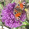 Peacock butterfly feeds on Allium