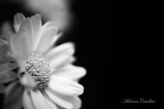 Tudo o que é belo tende a ser simples. Afirmação generalizante? Não sei. (Adriana Casellato) Tags: flowers bw flower canon 50mm natureza flor pb 18 margaridas flres
