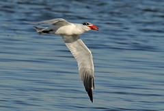 Caspian Tern (maureen_g) Tags: bird wildlife flight australia nsw centralcoast toukleybridge