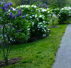 Lilacs on the Path (Posterized) (randubnick) Tags: art boston photography purple path massachusetts harvard photograph painter harvarduniversity bostonma jamaicaplain mothersday posterized lilacs arnoldarboretum arborway whitelilacs lilacsunday