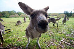 Roadside Kangaroo