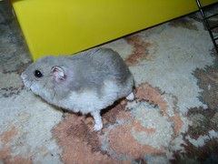 Beany - 2006 (gingersquirrel) Tags: pets 2006 hamsters beany