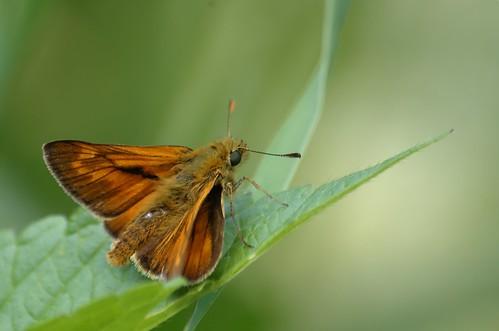 Ochlodes faunus (O. venata) | Groot dikkopje (M) - Large skipper (M)