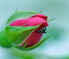 organic buddies (Wils 888) Tags: flower nature rose insect lens spider nikon blossom micro bud nikkor 105mm d90 nikond90 vosplusbellesphotos