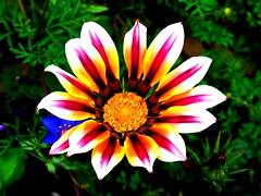 Flower (pimpmasta ste) Tags: plant flower garden vegitation florafauna platinumheartaward