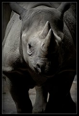 Anti Wrinkle Cream Required - (but you tell him) (-Maddox-) Tags: portrait eye zoo picture like rhino took ran fk