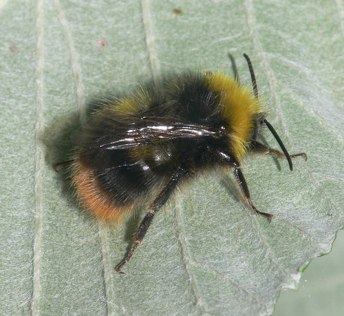 Early bumblebee (Bombus pratorum), m