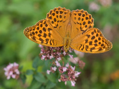 Tabac d'Espagne (Argynnis paphia) Silver-washed Fritillary (Sinkha63) Tags: france nature beautiful animal closeup butterfly bug garden insect wildlife jardin papillon getty insectes gettyimages corrze fritillary limousin beynat nymphalidae vulgare origanum heliconiinae argynnispaphia lpidoptre silverwashedfritillary pgt argynnis origan tabacdespagne macromarvels rhopalocre vosplusbellesphotos argynnini