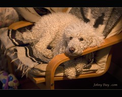 Rainy Days for Holly Wood (Johny Day) Tags: dog holly hollywood kindness angelic soe standardpoodle oneofmybest canicheroyal johnyday johnyday johnydaystudioyahoocom johnyshemeltsmyheartlisa