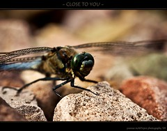CLOSE TO YOU (yART photography) Tags: nature dragonfly macroshot closetoyou canonef100mmf28macro canoneosrebelxsi downonthefloor yvonnemartejevs amacroagain thelastonewaslongtimeago creepingandcrawling