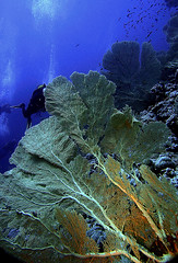 ELPHISTONE. (MANATISUB) Tags: underwaterphoto marrojo submarinas reedsea