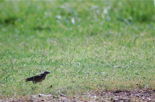 lone cowbird