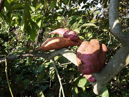 Sweet Potato Tree, 36/365