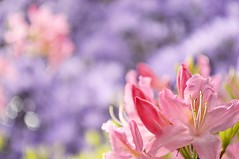 welcome back, spring (zhangsterr) Tags: pink flowers blue colors washington spring state bokeh blooming