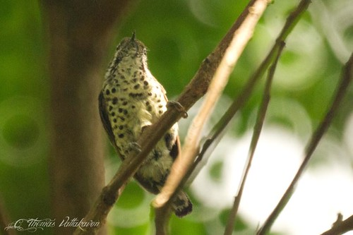 Speckled Piculet