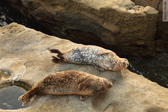 two seals (wmliu) Tags: california ca sunset sea usa rock us lajolla seal wmliu