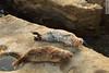 two seals (wmliu) Tags: california ca sunset sea usa rock us lajolla seal wmliu