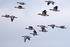 Pink foot geese in flight (Jim Taylor1) Tags: geese inflight pinkfoot vanefarm
