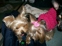 Gizzy 6 (dadootdoots) Tags: dogs cuteness yorkies playgroups