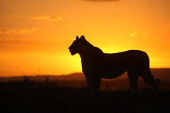 Sunset at the Musiara Marsh (Lyndon Firman) Tags: kenya lion bbc masaimara pantheraleo specanimal bigcatdiary mywinners