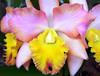 o r c h i d (✿ Graça Vargas ✿) Tags: orchid flower macro explore cattleya orquídea interestingness219 i500 graçavargas ©2008graçavargasallrightsreserved 67220031011