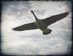 Up, Up...and Away..... (law_keven) Tags: england sky bird birds clouds geese flight feathers goose fowl waterfowl essex canadagoose avian feathery flatford gooseinflight 100commentgroup vosplusbellesphotos