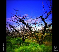 I am without you...Never again! (* landscape photographer *) Tags: italy alberi europe nuvole basilicata cielo fiori matera prato soe pictureperfect policoro paneevino aplusphoto salvyitaly francavillainsinni lucaniabella iosenzatemaipi