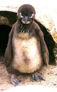 Pinguin-Junges - Hab acht, Augen gerade aus !!!  , 116