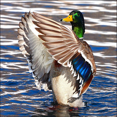 ~ Duck Dance ~ (ViaMoi) Tags: travel blue wild ontario canada detail male green bird nature water colors beautiful digital speed canon photography photo duck drops wings flickr photographer image action wildlife ottawa newmedia ducks drop canadian mallard drake waterfowl farbe 2009 naturalist naturesfinest bestphoto blueribbonwinner bestphotos imagist supershot ottawacanada addictedtoflickr flickrsbest masterphotos golddragon 40d abigfave platinumphoto anawesomeshot colorphotoaward impressedbeauty aplusphoto ultimateshot diamondclassphotographer flickrdiamond citrit theunforgettablepictures canon40d masterphoto naturewatcher colourartaward excapture flickriver betterthangood viamoi goldstaraward photographybyviamoi rubyphotographer damniwishidtakenthat flickrlovers 100commentgroup addictedtohighquality