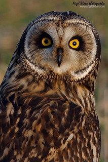 Short eared Owl Asio flammeus