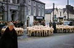 Market Day at Mullingar (larigan.) Tags: woman sheep farmers market stpatricksday marketday mullingar westmeath happystpatricksday larigan phamilton patronsaintofireland myirishroots inmemoryofpippin