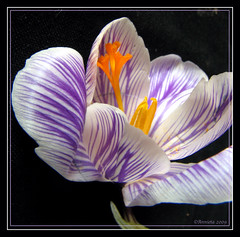 Crocus studie ( Annieta  Off / On) Tags: blue mars orange holland color macro green nature netherlands dutch closeup digital ilovenature march spring groen blauw nederland thenetherlands natuur crocus powershot bleu study s2is paysbas canonpowershots2is 2009 mrz couleur allrightsreserved oranje pictureperfect studie canonpowershot maart zuidholland kleur voorjaar krimpenerwaard highquality greatphotographers annieta bej passionphotography digifoto anawesomeshot brillianteyejewel flowersmacroworld 4mazingorgeoushotsoflowers natureselegantshots ahqmacro mimamorflowers awesomeblossoms 100commentgroup simplythebest~flowers flickrflorescloseupmacros panoramafotogrfico thebestofmimamorsgroups 30favnaturnature gardenparadise dontusethisphotowithoutpermission usingthisphotowithoutpermissionisillegal