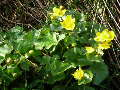 Marsh marigolds near Storth Farm