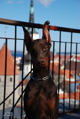 Campary (Liisaz88) Tags: portrait dog nikon tallinn estonia land oldtown dobermann flox campary legrant