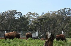 Buffalo Paddock in Golden Gate Park