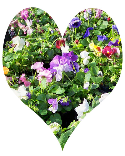 pansies-heart