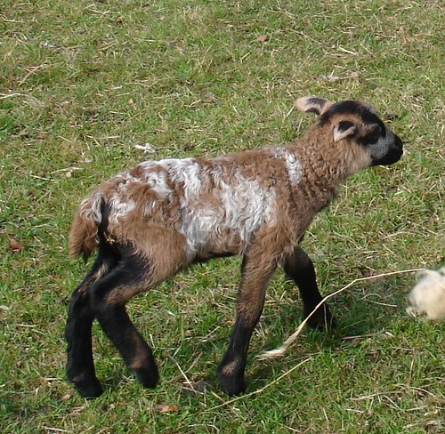 Surprise lamb - a cross with a Cameroon Ram