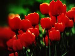 [フリー画像] [花/フラワー] [チューリップ] [レッド/花]        [フリー素材]